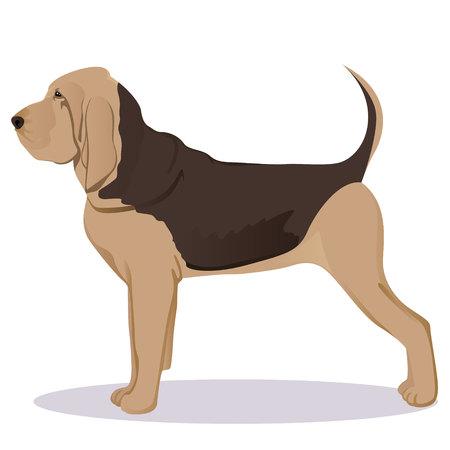 Bloodhound dog vector illustration