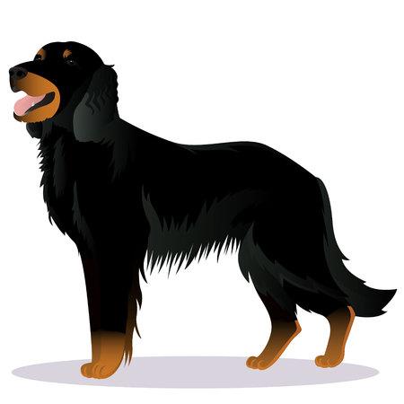 Scottish Setter dog Illustration