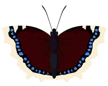Butterfly morning cloak Illustration