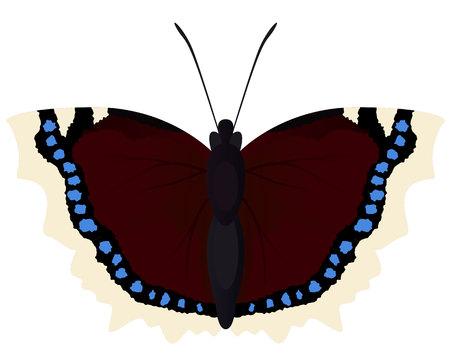 Butterfly morning cloak Illustration