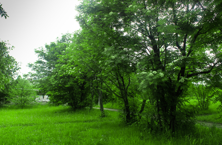 Blossoming mountain ash and green grass in park Stock Photo
