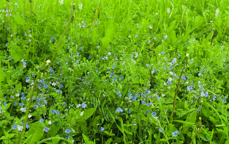 germander speedwell in green grass