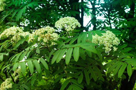 Blossoming mountain ash in park
