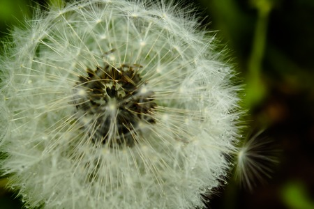 Dandelion close up after a rain