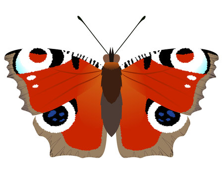Butterfly peacock vector Illustration