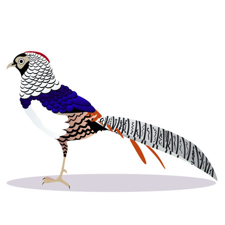 Lady Amherst pheasant cartoon vector illustration Illustration