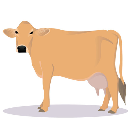 Jersey cattle vector illustration Illustration