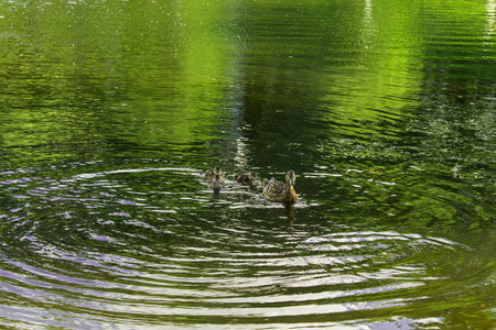 A wild duck swims along the pond with ducklings photo Stock Photo