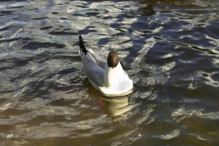 Black-headed gull swims in the pond photo Stock Photo