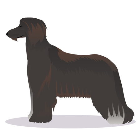 afghan: Afghan hound black Illustration