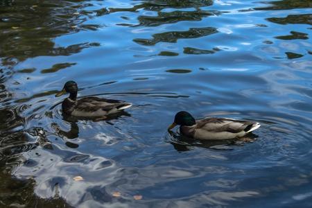 Wild ducks in pond photo