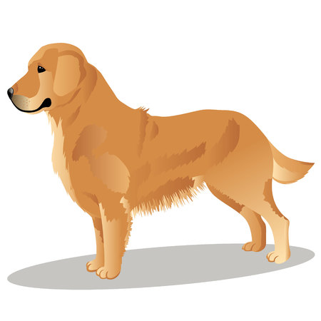 Golden retriever dog vector illustration Ilustração