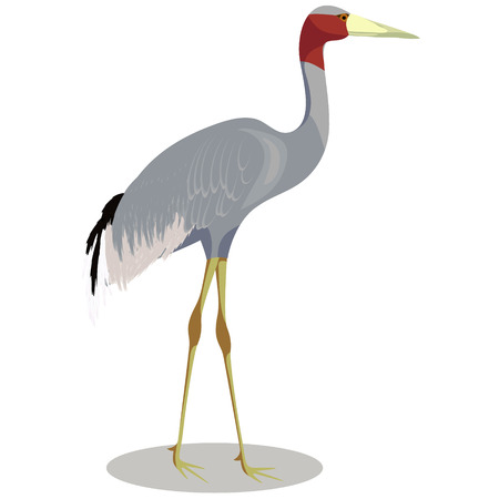 Sarus crane isolated vector illustration design animal character