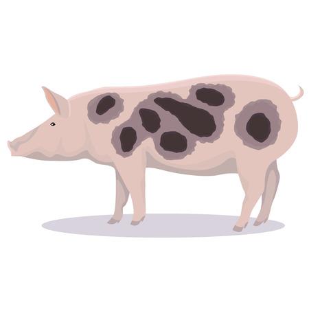 Pietrain pig cartoon illustration on white background.
