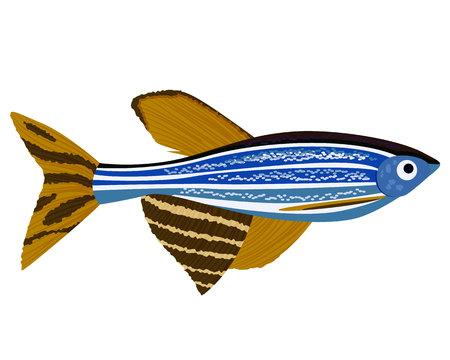 Zebrafish cartoon Danio rerio aquarium fish