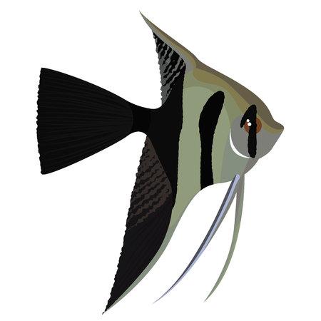 Halfback veil angelfish cartoon aquarium fish