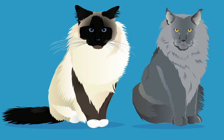 Birman cat and maine coon set vector illustration