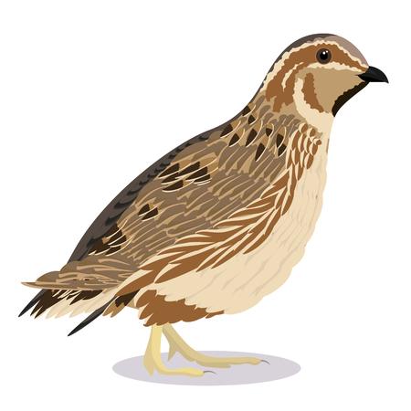 illustration vectorielle d'oiseau de dessin animé de caille commune Vecteurs