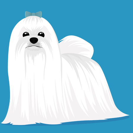 Maltese dog vector illustration
