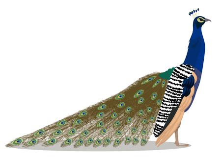 Indian peafowl cartoon bird vector illustration