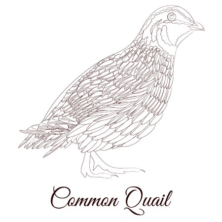 common quail bird coloring