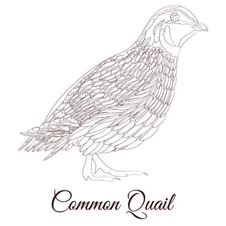 common quail bird coloring Reklamní fotografie - 116386718