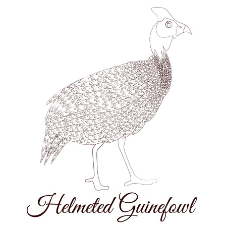 Helmeted guineafowl bird coloring Ilustrace