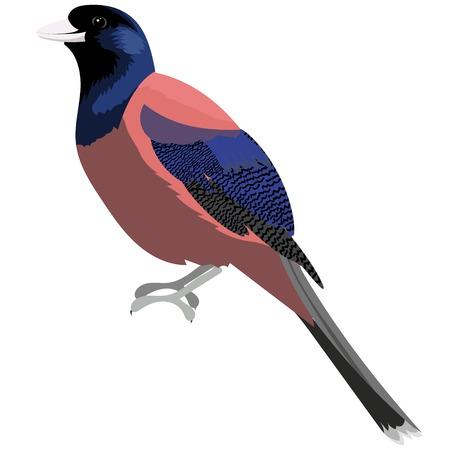 Lidth s jay bird vector illustration