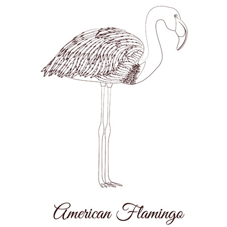 American flamingo outline bird vector illustration