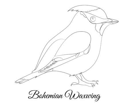 Bohemian Waxwing bird type vector coloring, illustration Illustration