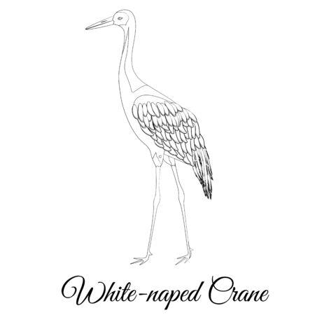 White naped crane bird type vector outline