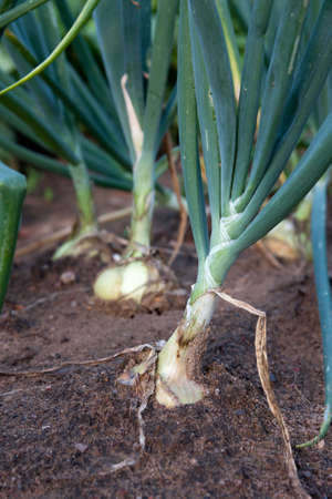 onions: Organically grown onions with chives in the soil. Organic farming. Stock Photo