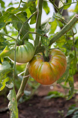 organically:  Organically grown tomatoes in the greenhouse. Organic farming.