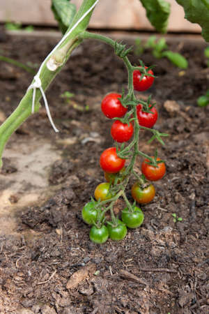 Organically grown cherry tomatoes Stock Photo - 7589046