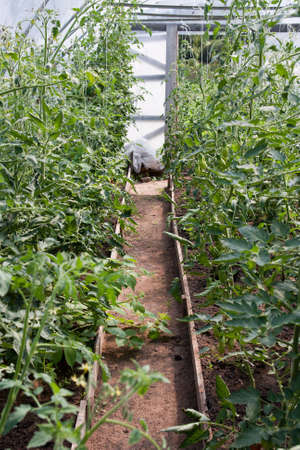 Tomato plants growing in greenhouse on both sides of footpath. Organic farming. photo