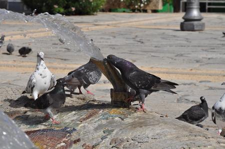Pigeons in Cyprus