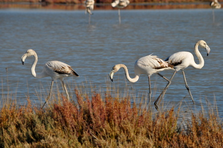Flamingo in Ladys Mile Limassol Stock Photo