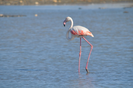 Flamingo in Ladys Mile Limassol Stock Photo