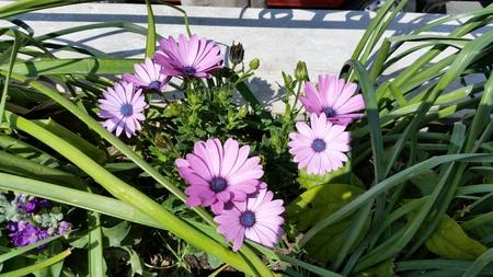 The beautiful gerbera gerber flower in garden