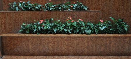 The beautiful anthurium flower in garden Foto de archivo