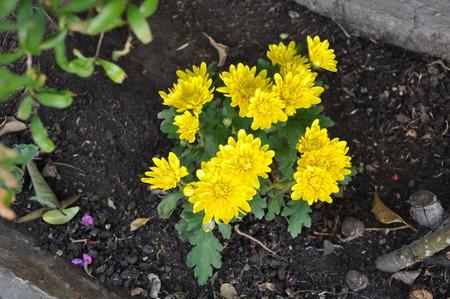 The beautiful Chrysanthemum flower in garden