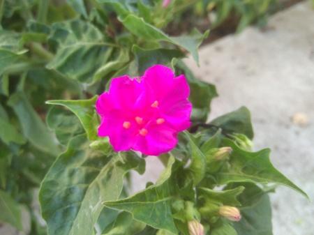 The beautiful Moonflower flower in garden
