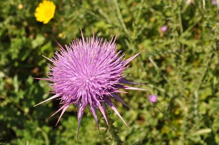 The beautiful Onopordum acanthium flower in garden