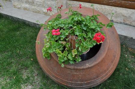 The beautiful geranium (Pelargonium zonale) flower in garden