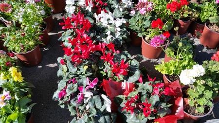 The beautiful Cyclamen flower in garden