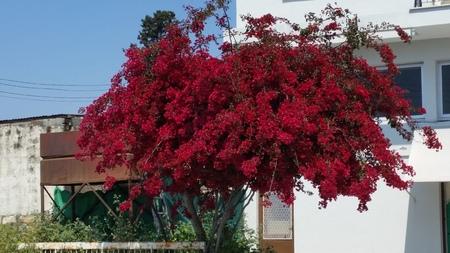 The beautiful Bougainvillea flower in garden