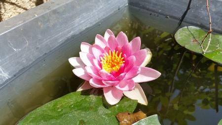 The beautiful Nymphaea flower in garden