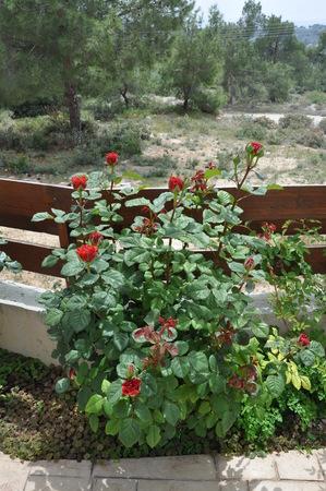 The beautiful Rose flower in garden