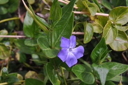 The beautiful Vinca flower in garden