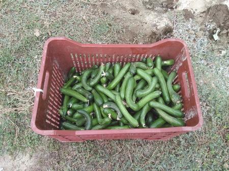 The beautiful Cucumber in Greenhouse Stockfoto
